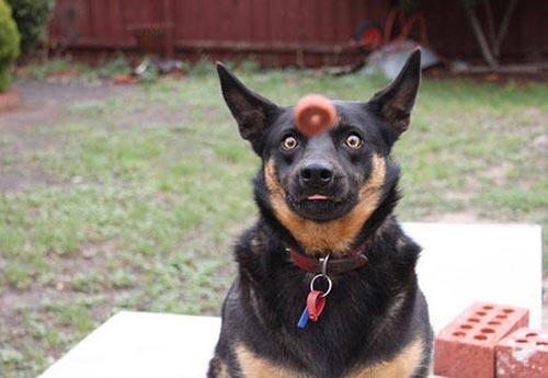 photobomb-chien-croquette