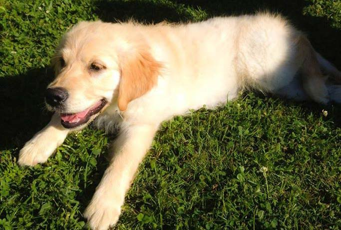 chiot-golden-couche-caniguide