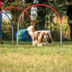 cavalier-king-charles-hoopers-agility